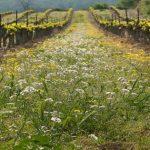 Los cultivos de cobertura o coberturas vegetales