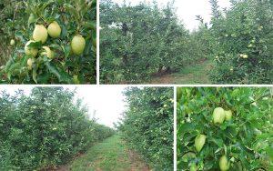 fruit nature pomes granny eco