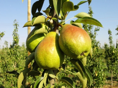pera llimonera fruit nature