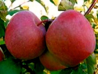 poma fuji fruit nature