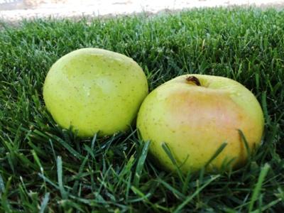 poma golden fruit nature