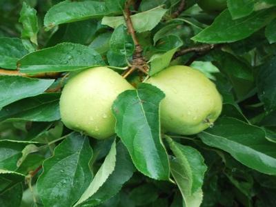 poma granny smith fruit nature