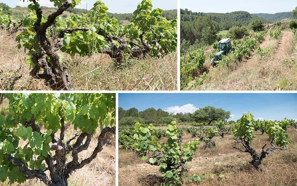 bodega entre vinyes entorn ecologic