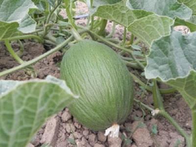 melon piel de sapo masia moliner