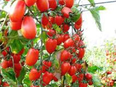 tomate cherry pera masia moliner