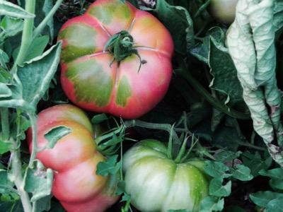 tomates masia moliner