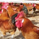 La raza Prat y la IGP de Pollos y capones del Prat