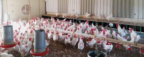 Pollastres i gallines de la raça Prat Blanca Autor Granja Torres - IGP Pollastres i Capons del Prat